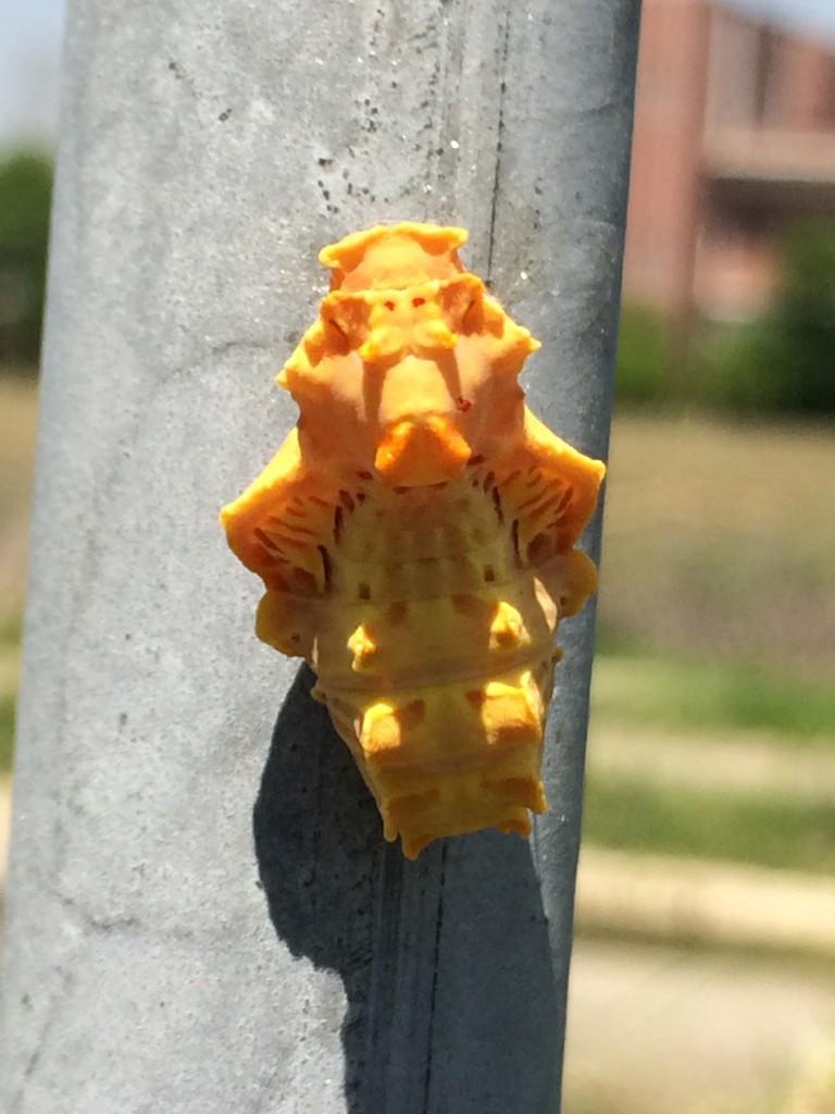 ジャコウアゲハの蛹