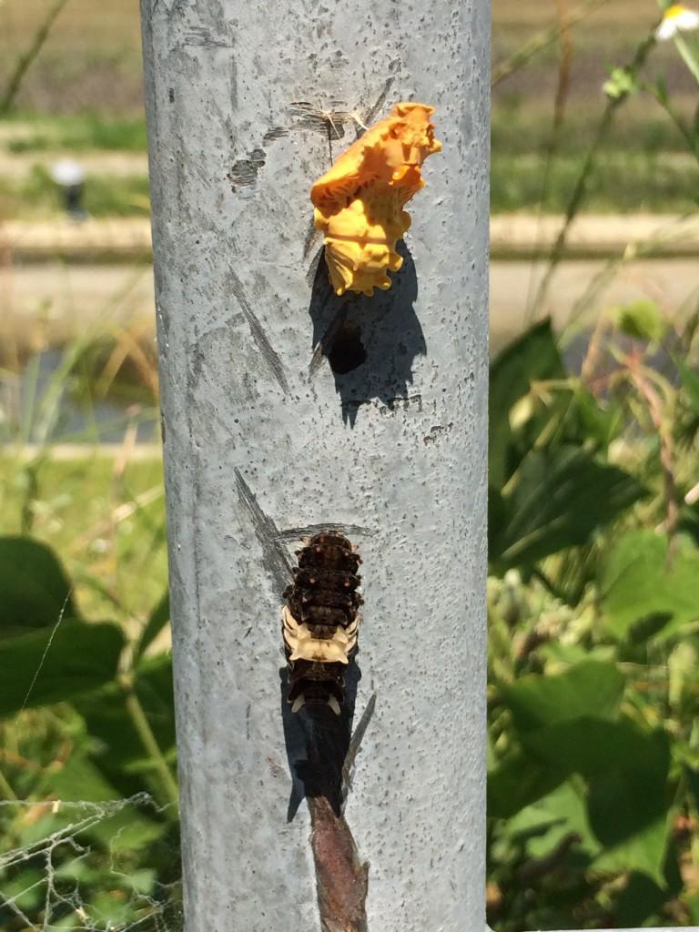 ジャコウアゲハの蛹と幼虫