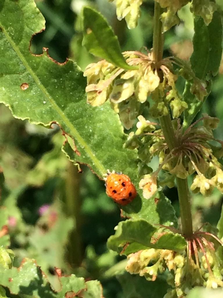 ナミテントウの蛹