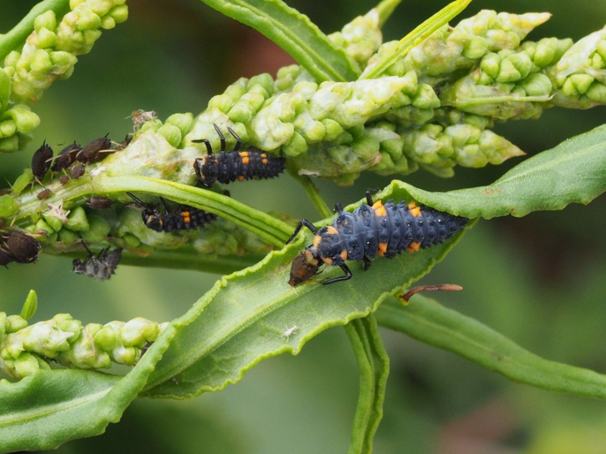 幼虫がアブラムシを捕食中