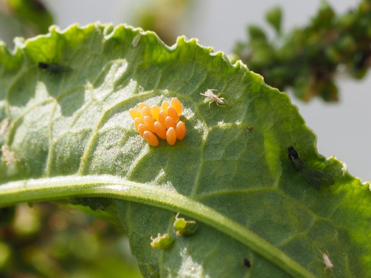 てんとう虫の卵