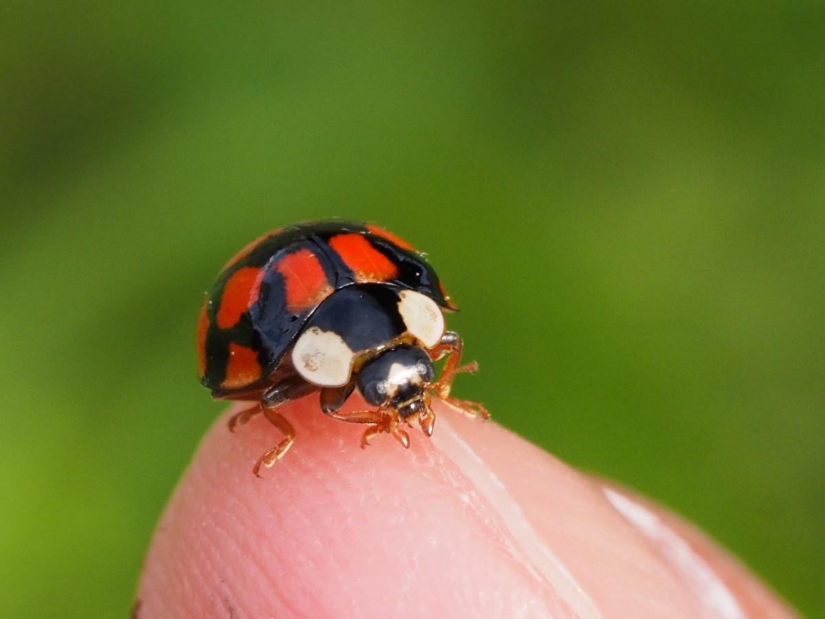 成虫のてんとう虫